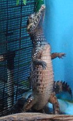 Daigoro the alligator